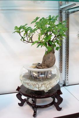 人参榕,水培,花卉图片