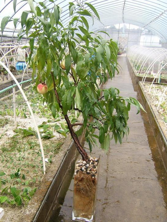发达的桃树根系